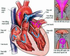Hở van 2 lá là một bệnh tim thực thể, có liên quan đến cấu trúc của tim và là bệnh lí tim mạch thường gặp ...