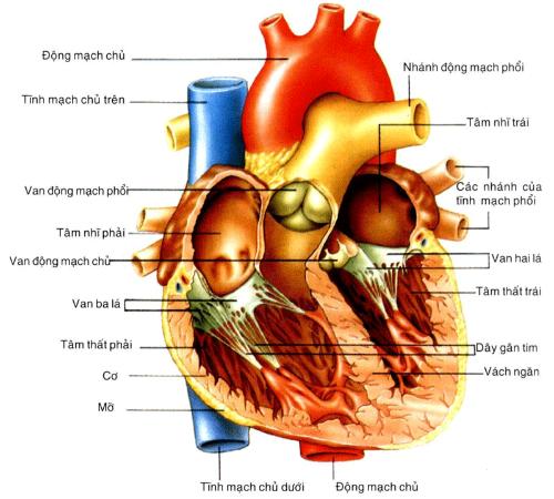Cách phòng tránh bệnh tim ở trẻ sơ sinh