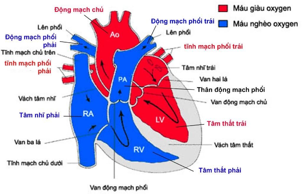 benh-tim-bam-sinh-co-phai-chi-phau-thuat-moi-khoi-duoc-khong.jpg2