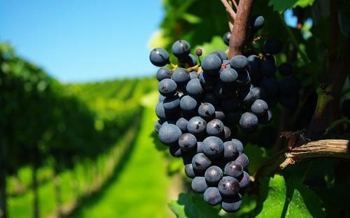 . Tanin khiến cho thực phẩm có vị chát  và có mặt trong các thực phẩm như nho và rượu vang.