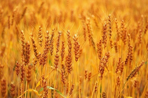 Người bị dị ứng với gluten cần tránh các thực phẩm như lúa mạch để phòng chống nguy cơ thiếu máu.