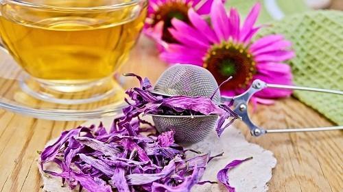 Sử dụng cây cúc dạ là một trong những cách chữa viêm amidan bằng thảo được được áp dụng ở nhiều nước phương Tây.