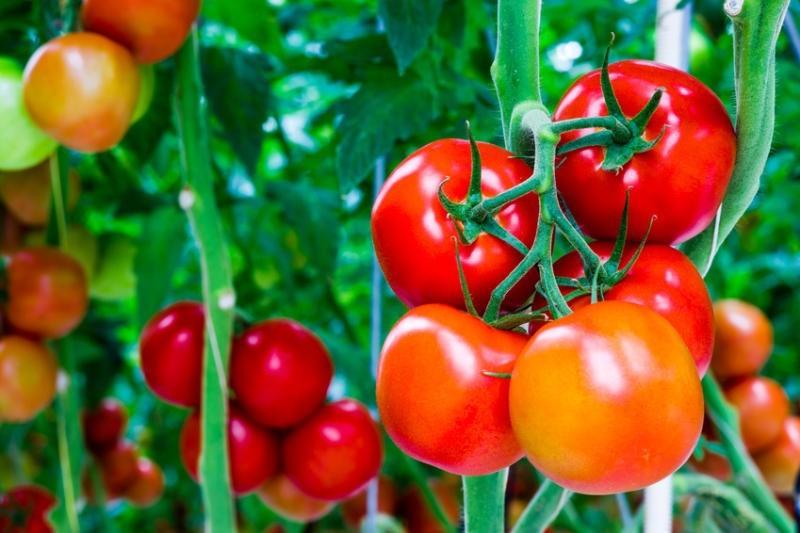 Có công dụng thanh nhiệt, giải độc, lương huyết bình can và hạ huyết áp. Đây là loại thực phẩm rất giàu vitamin C. Nếu dùng cà chua thường xuyên (mỗi ngày 1-2 quả còn tươi sống) sẽ giúp phòng chống cao huyết áp rất tốt.