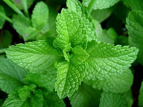 Các loại cây họ bạc hà như húng quế, bạc hà, hương thảo, tía tô, hương nhu...đều có ích trong việc làm giảm đầy hơi chướng bụng.