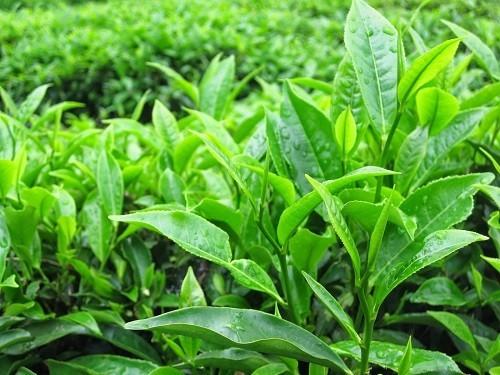 Trà xanh sẽ bảo vệ thận khỏi các độc tính có trong nhiều loại thuốc.