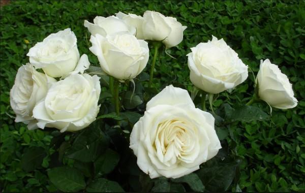 Lấy cánh hoa hồng bạch rửa sạch trộn với lượng đường phèn và một ít nước lọc, đem hấp cách thủy. Cho bé uống 3-4 lần/ngày, 1 thìa/lần.