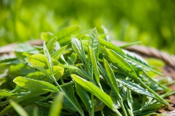 Theo nghiên cứu của Trung tâm y tế thuộc Đại học Marylan (Nhật Bản), trà xanh có chứa nhiều chất catechin, flavonoid, tannin có trong trà xanh rất có lợi cho phổi, ngăn chặn các bệnh lý cảm cúm, viêm phế quản mãn tính, hen phế quản,…