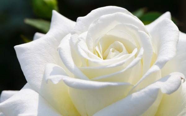 Hoa hồng trắng có công dụng trị ho đờm rất tốt. Bạn lấy cánh hoa hồng bạch rửa sạch trộn với một ít đường phèn, cộng với một ít nước lọc, đem hấp cách thủy. Mỗi lần uống vài thìa, ngày dùng 3-4 lần.