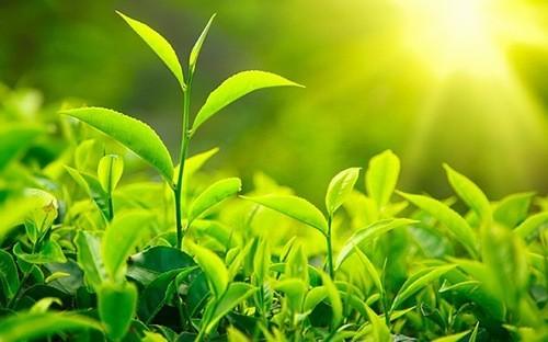 Uống trà xanh tốt cho hệ miễn dịch