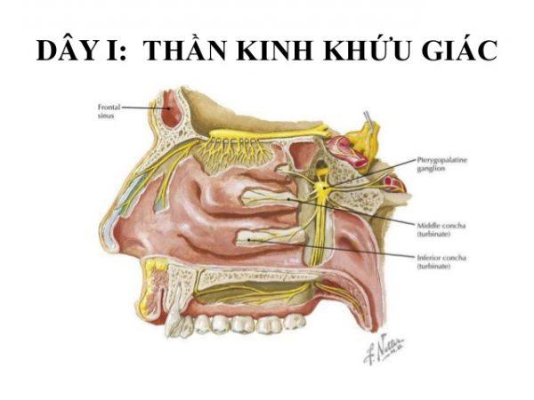 Tổn thương dây thần kinh I (dây thần kinh khứu giác) sẽ gâymấthoặc giảmkhứu giác.