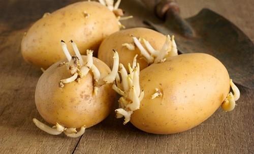 Khoai tây mọc mầm có nhiều độc tố, mẹ bầu đặc biệt không nên tiêu thụ
