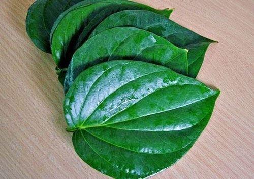 lá trầu không làm Lá trầu không ức chế các chủng vi khuẩn và nấm nên nó có thể ngăn chặn sự xâm nhập của vi khuẩn