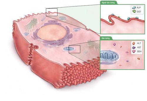 Chỉ số GGT trong máu sẽ cho biết gan có đang gặp bất ổn hay không và mức độ nghiêm trọng đến đâu.