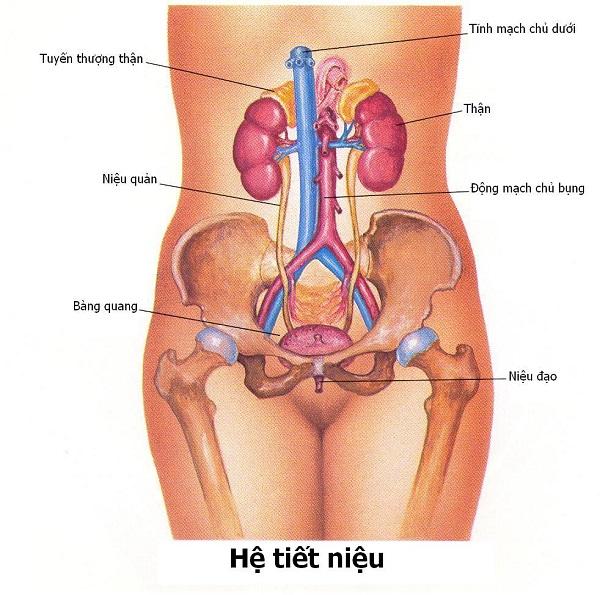 Hình ảnh mô tả viêm đường tiết niệu ở nữ giới.