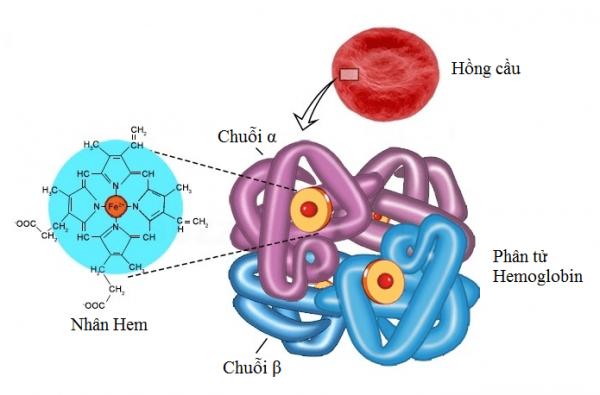 Điện di huyết sắc tố trong chẩn đoán bệnh Thalassemia