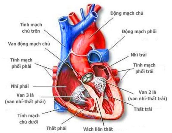 Hình ảnh giải phẫu tim. (ảnh minh họa)