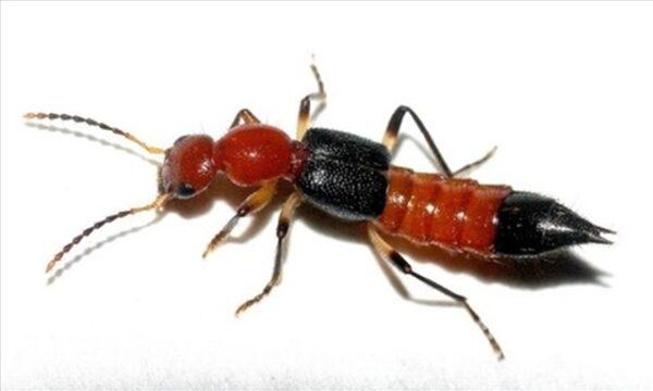 kiến ba khoang đốt gây bệnh viêm da tiếp xúc