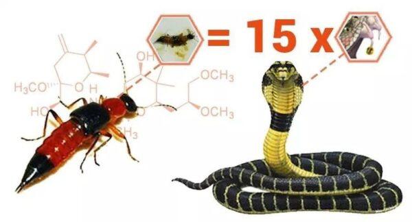 Độc tố của kiến ba khoang gấp 15 lần rắn hổ